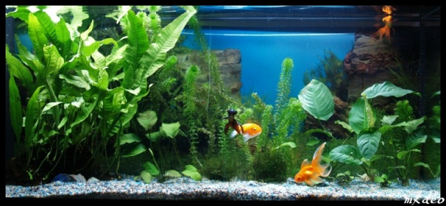 L 39 aquarium id al pour le poisson rouge poisson rouge for Ou placer aquarium poisson rouge