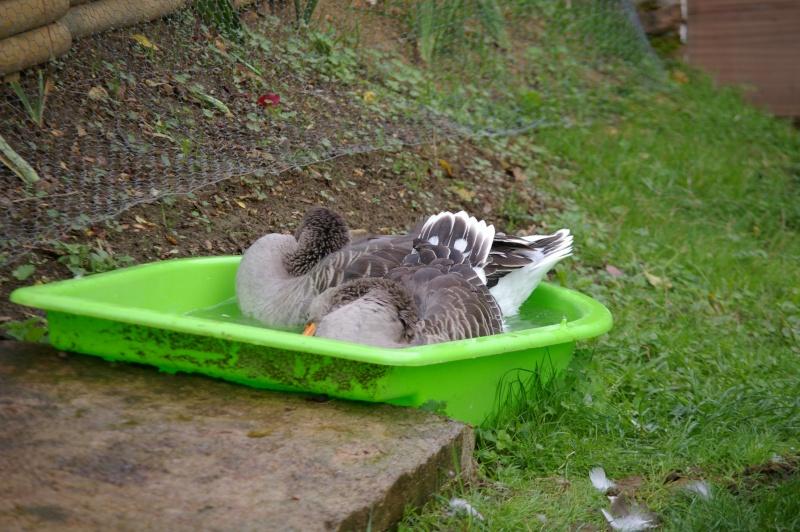 Bac a eau pour canard bande transporteuse caoutchouc - Bassin canard bache ...