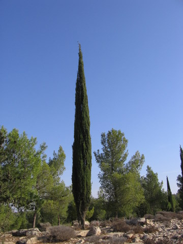 Cypr s de provence 39 totem 39 - Cypres de florence totem ...