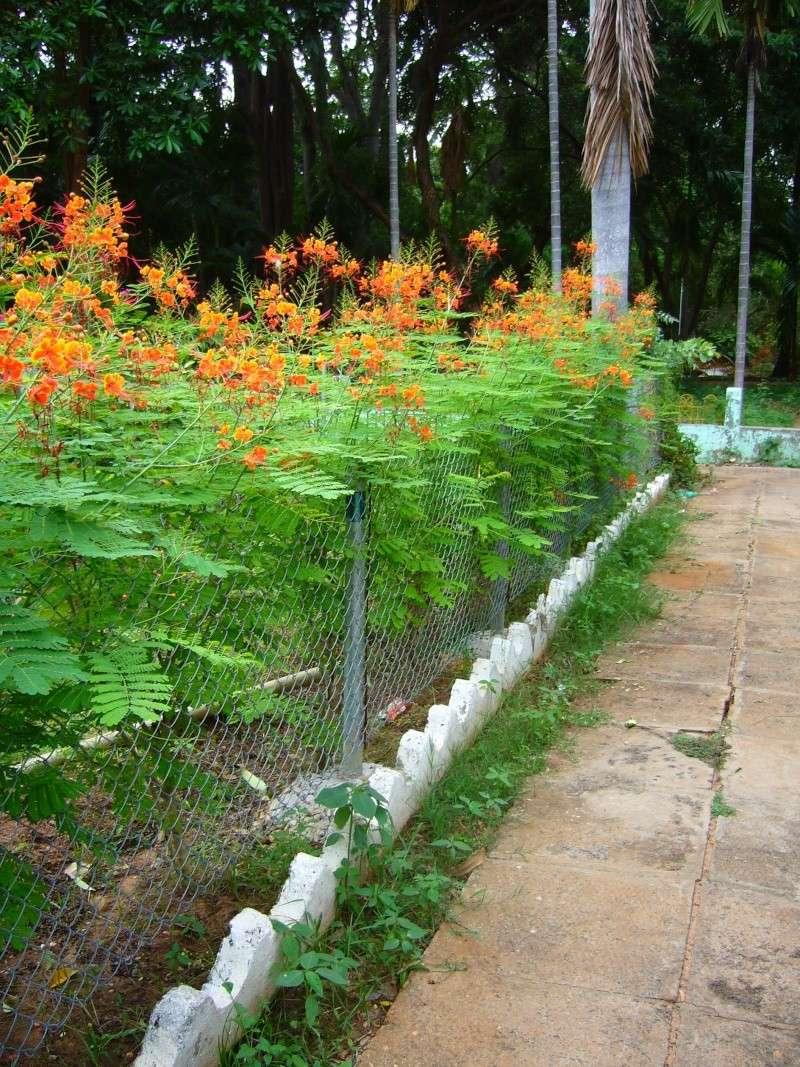 Caesalpinia en pot for Vente de plantes par correspondance