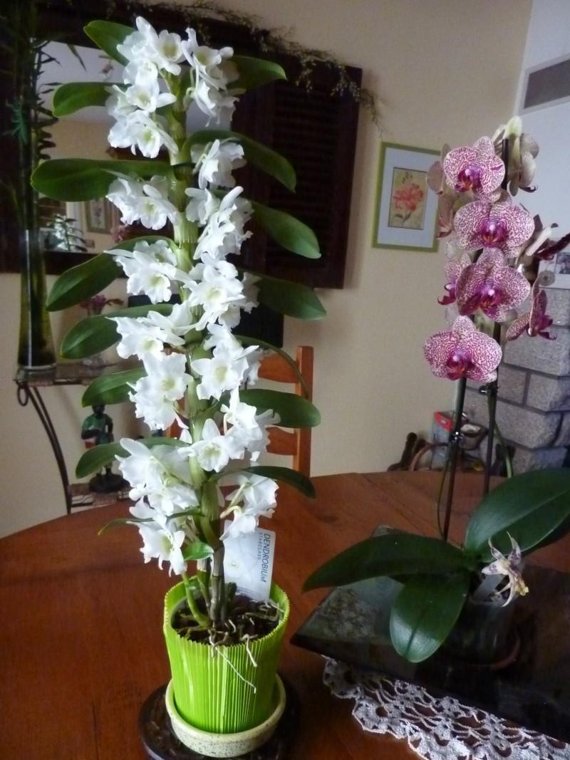 Orchid e dendrobium page 2 - Couper la tige d une orchidee ...