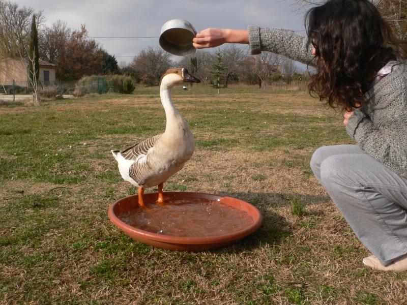 Une oie astucieuse - Bassin canard bache ...