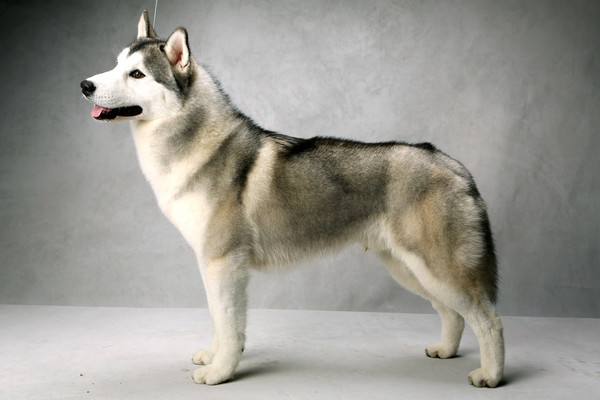 Dog Shows For Huskies