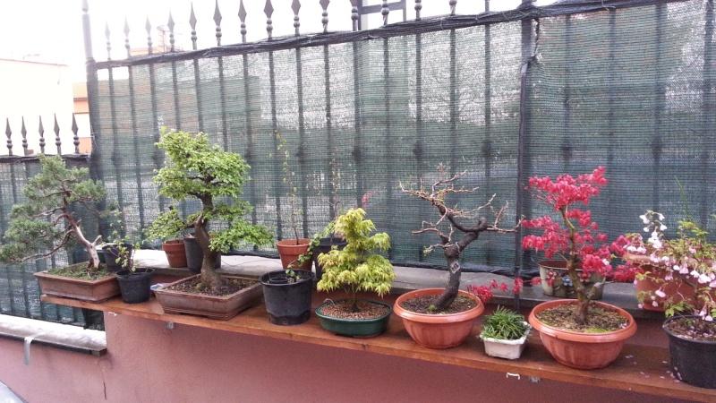 Dove coltiviamo i nostri bonsai pagina 18 for Dove comprare bonsai