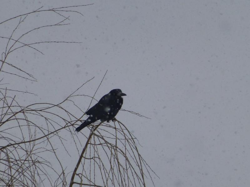 L'oiseau de l'hiver dans LES 4 SAISONS p1010110