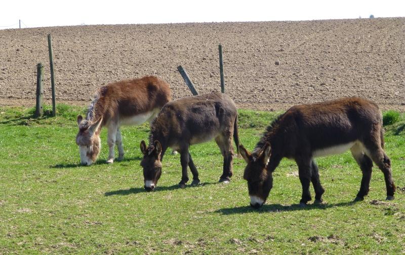 Les trois ânes dans CONTE p1020710