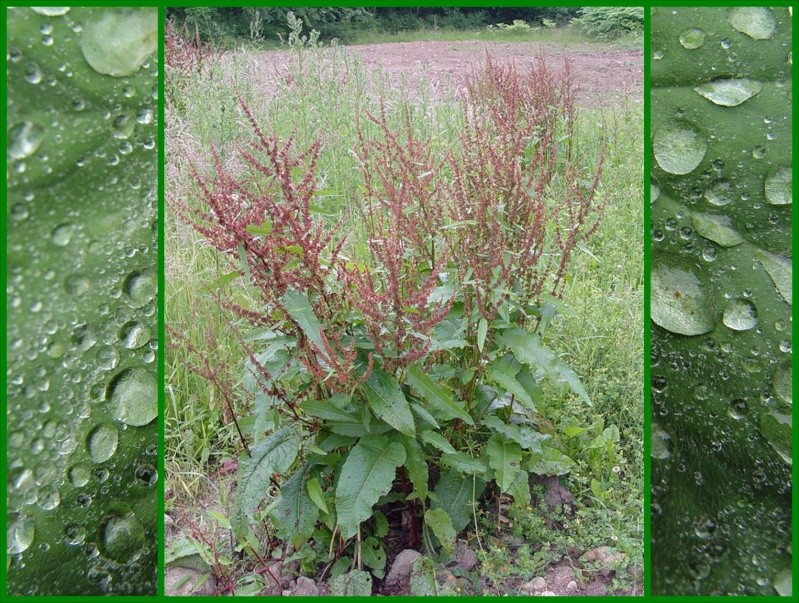Oxalis ou oseille sauvage trefle a 4 feuilles - Planter de l oseille ...
