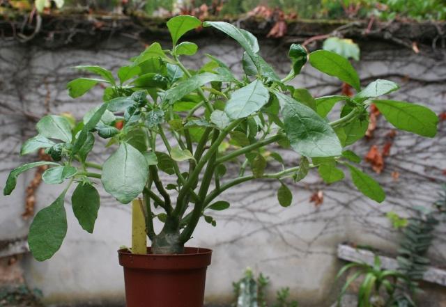 quel arbre pour haie qui pousse vite of plante qui pousse vite. Black Bedroom Furniture Sets. Home Design Ideas