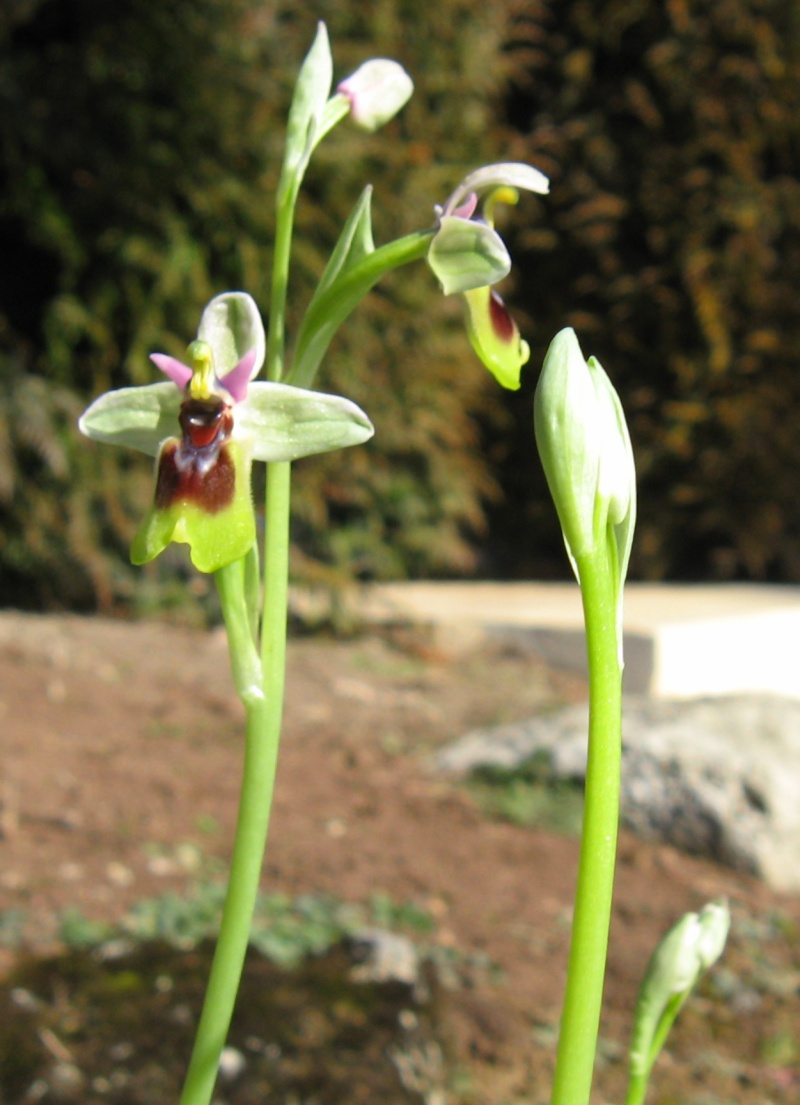 ophrys10.jpg