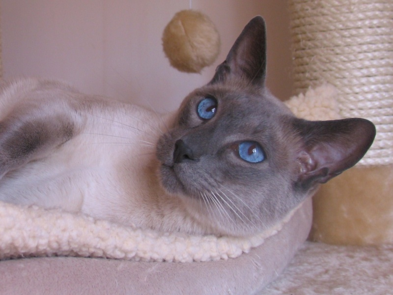 Chats siamois blue point - Chaton tonkinois ...