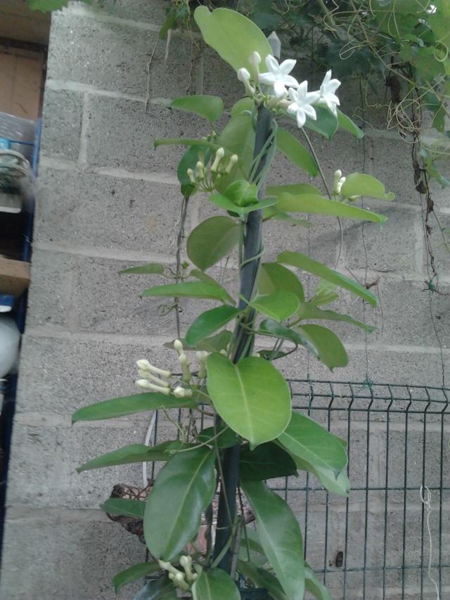 Floraison de mon st phanotis for Stephanotis exterieur