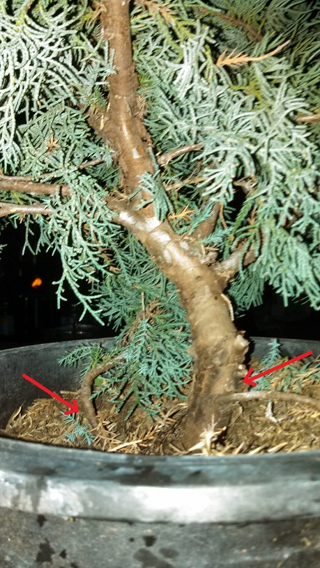 project juniper Sonora pass junipers, california research has been carried out over the past  four years on high-altitude juniper trees, duniperus occidentalis, from the sonora .